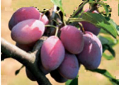 Susine Zucchelle